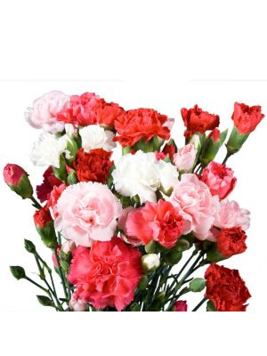 Send Carnations to Ahmedabad
